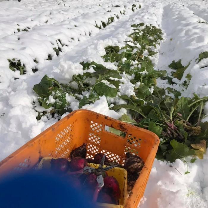 楽しい雪下収穫